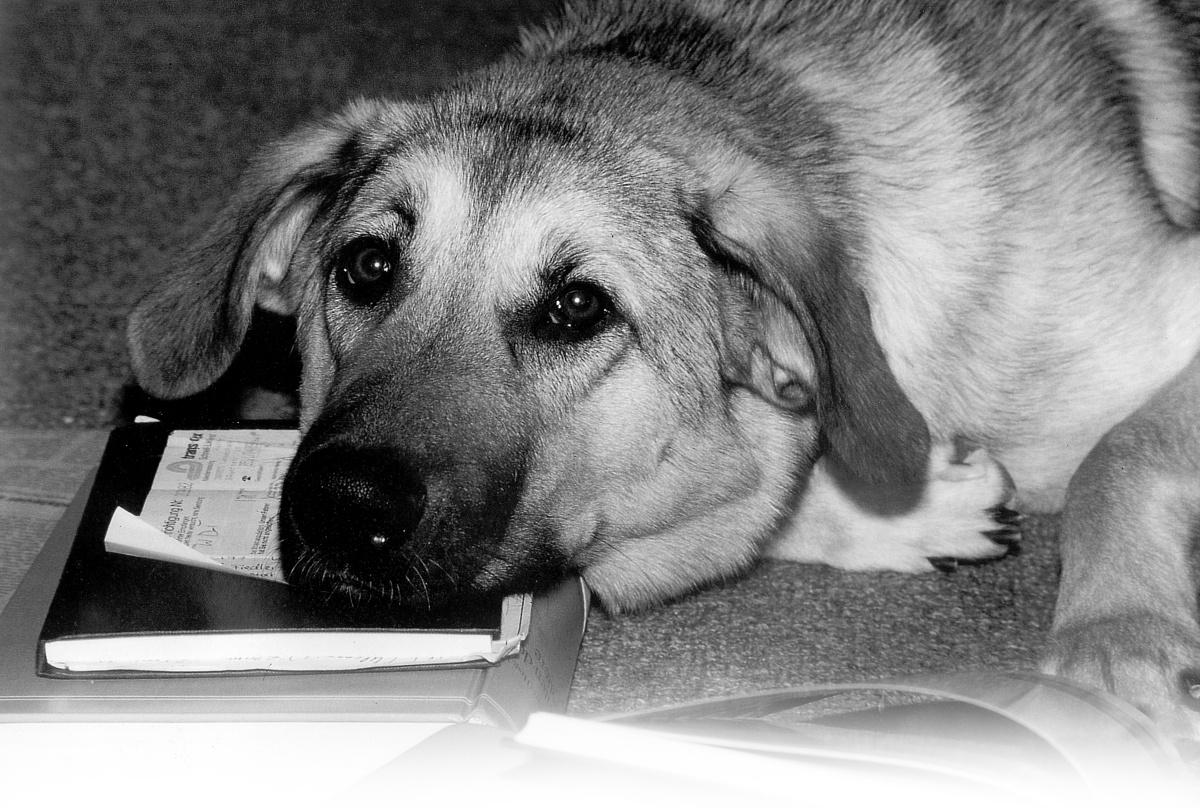 Hund liegt auf Bücherstapel