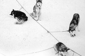 Tierschutz und Schlittenhundesport